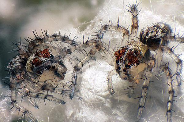 Lynx spiderlings (minuscule araignée) à la naissance