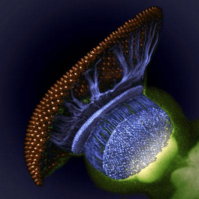 Drosophila melanogaster : système visuel à mi-chemin à travers la nymphose, montrant rétine (or), photorécepteur axones (bleu) et le cerveau (vert) (1500x)