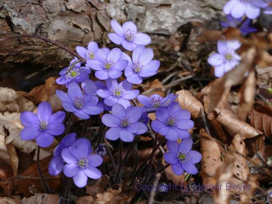 Leberblümchen - Blumen und Blüten 2