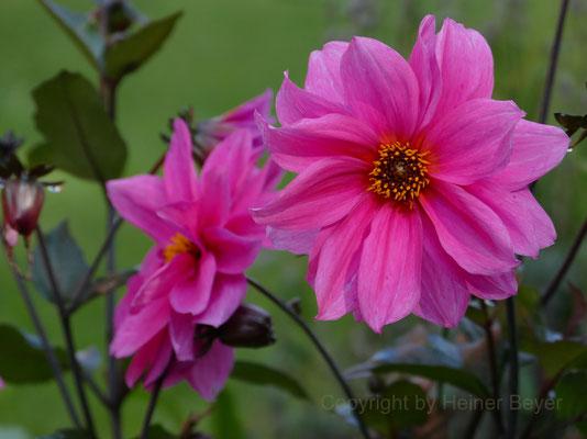 Dahlie - Blumen und Blüten 24