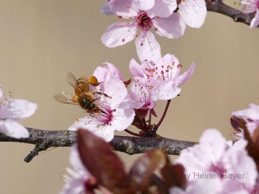 Biene an Blutpflaume - Blumen und Blüten 4