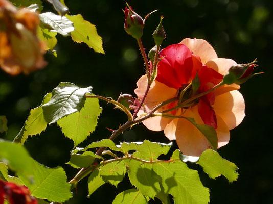 Rose - Blumen und Blüten 13