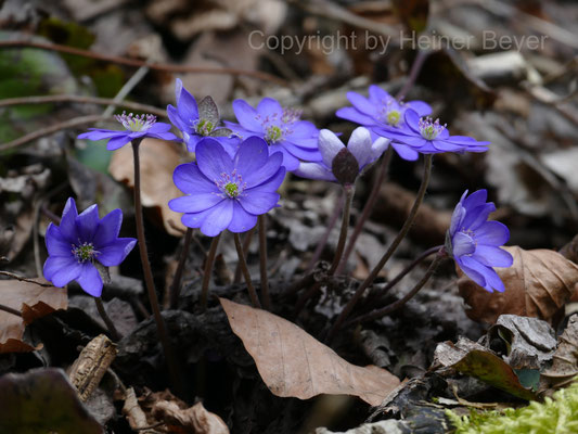 Leberblümchen / Jahreszeiten 14