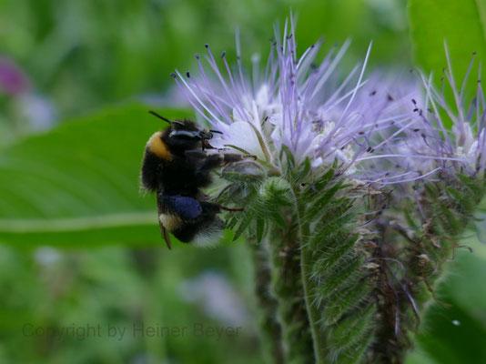 Hummel an Phazelie (Bienenfreund) - Blumen und Blüten 20