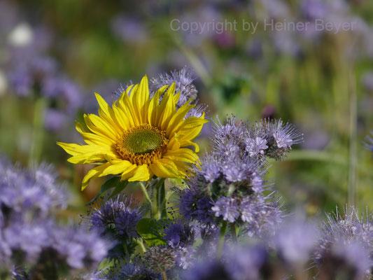 Flachs und Sonnenblume / Jahreszeiten 28