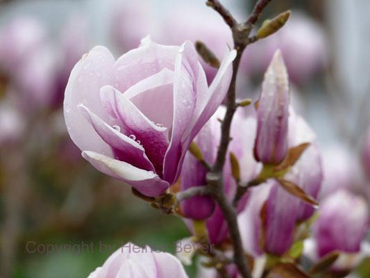 Magnolie / Jahreszeiten 17