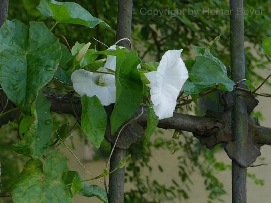 Zaunwinde - Blumen und Blüten 26