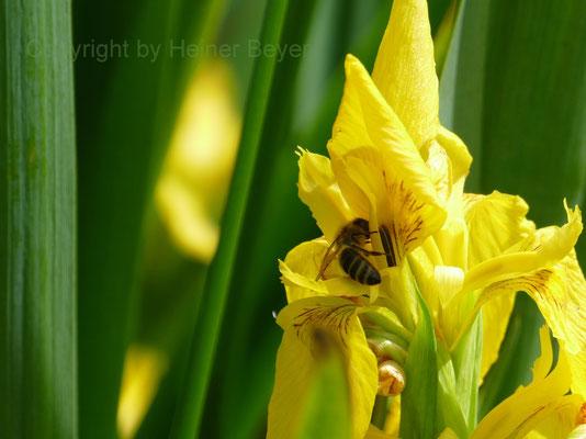 Schwertlilie, Biene - Blumen und Blüten 8