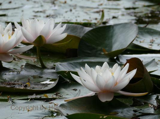 Teichrosen - Blumen und Blüten 17