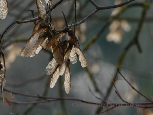 Ahornsamen / Jahreszeiten 35