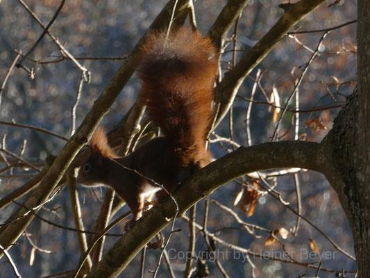 Eichhörnchen / Tiere 14