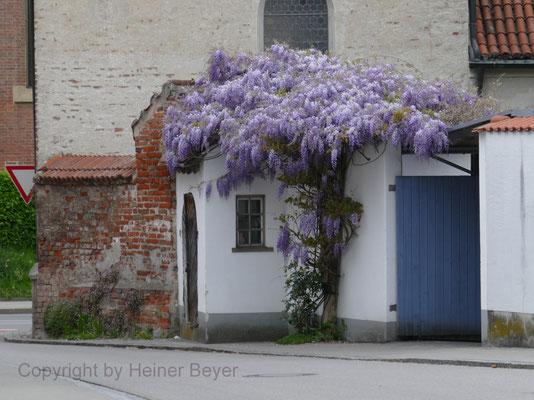 Blauregen (Glyzinie) - Blumen und Blüten 5