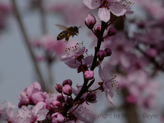 Biene an Blutpflaume - Blumen und Blüten 3