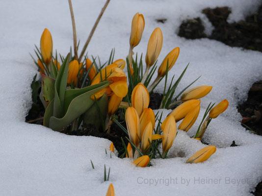 Krokus - Blumen und Blüten 1