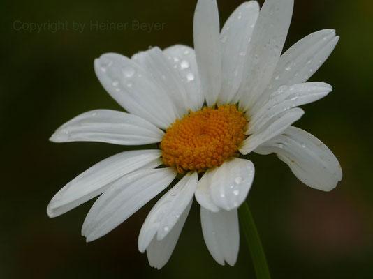 Margeritte - Blumen und Blüten 12