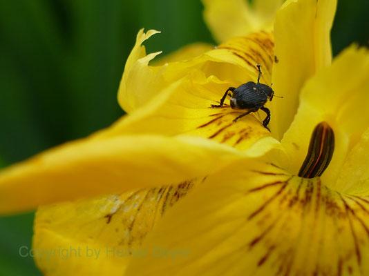 Schwertlilie, Rüsselkäfer - Blumen und Blüten 9