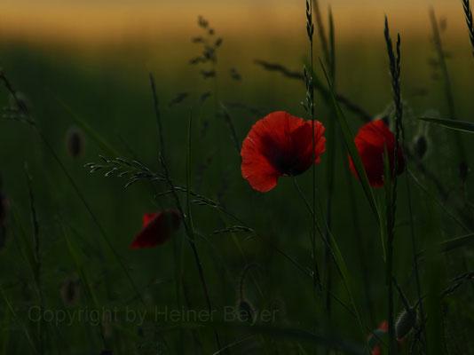 Abend-Mohn - Blumen und Blüten 11