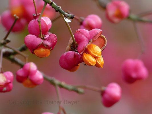 Pfaffenhütchen - Blumen und Blüten 25