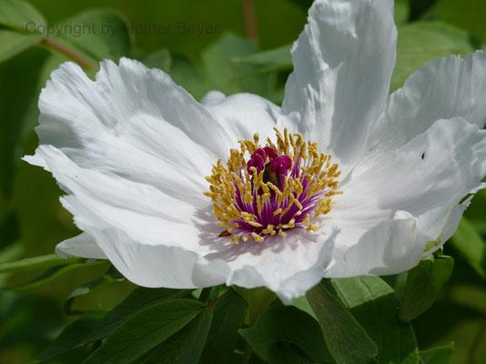 Pfingstrose - Blumen und Blüten 6