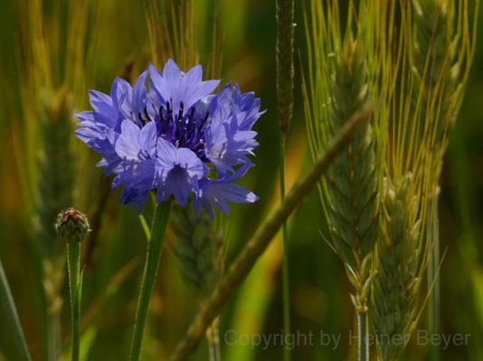 Kornblume - Blumen und Blüten 14