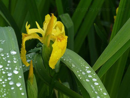 Schwertlilie - Blumen und Blüten 7