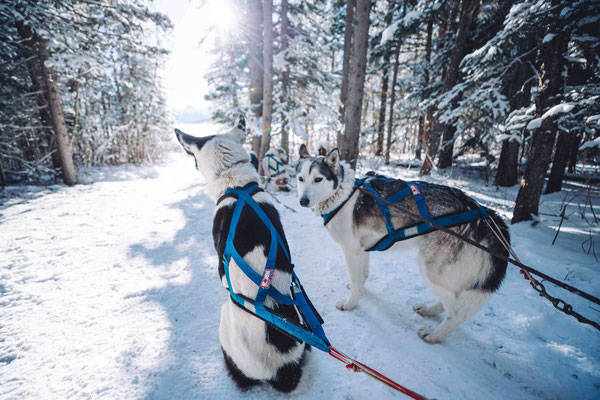 Dog Sledding at Spray Lakes, Kananaskis Canmore Banff Winter