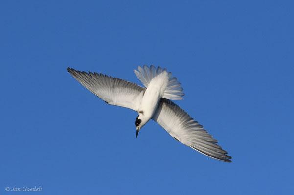 Trauerseeschwalbe im Sturzflug (im Gegenlicht)