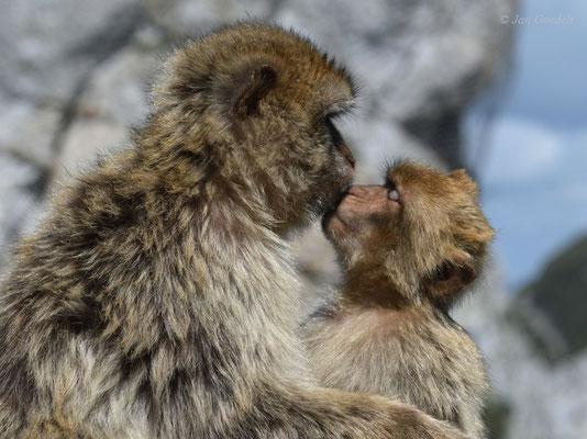 """Berberaffen-Kuss zwischen Mutter und Jungtier (mehr Bilder unter """"Themenfotos"""")"""