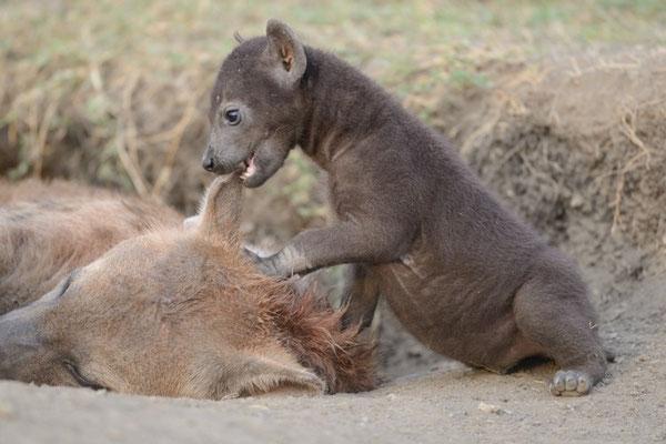 Junge Tüpfelhyäne beißt ins Ohr eines Alttiers, Masai Mara (Kenia)