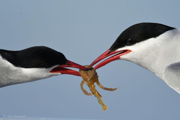 Küstenseeschwalben bei Krebs-Übergabe