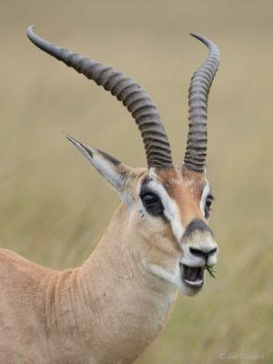 Kauende Grantgazelle, Masai Mara (Kenia)