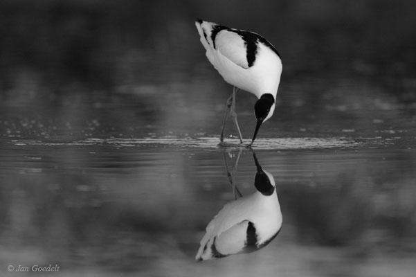 Säbelschnäbler spiegelt sich (schwarz-weiß)