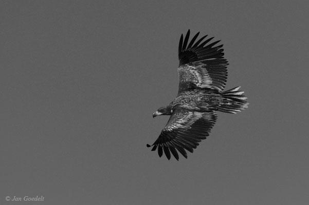 Unausgefärbter Seeadler im Flug von oben