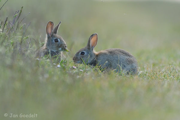 Zwei junge Wildkaninchen