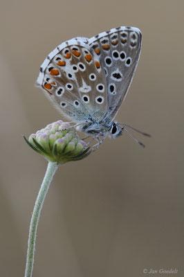 Himmelblauer Bläuling ruhend auf Blüte