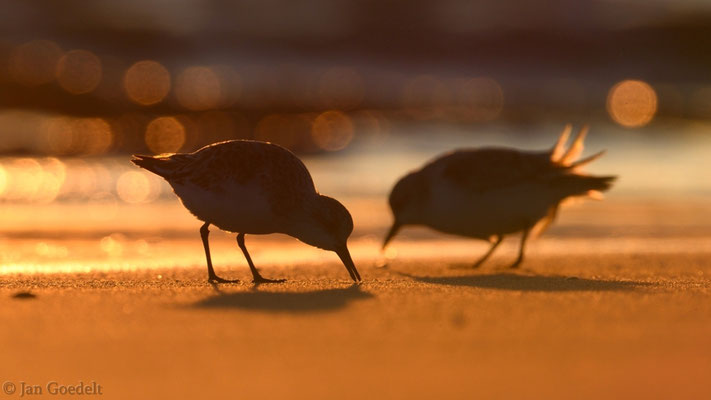 Sanderlinge suchen Nahrung in der Abendsonne