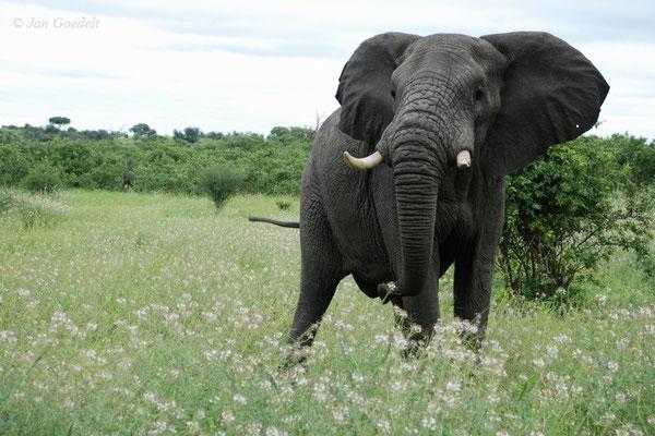 Afrikanischer Elefant schaut aufgebracht in die Kamera, Botswana