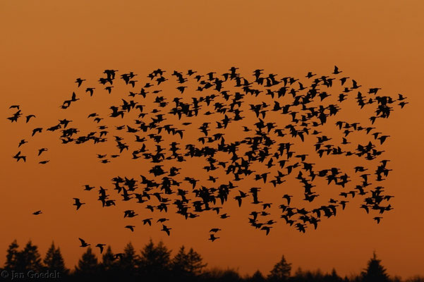 Nonnengänse fliegen zum abendlichen Schlafplatz ein