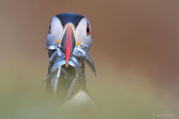 """Papageitaucher-Portrait mit Sandaalen (mehr Bilder unter """"Themenfotos"""")"""