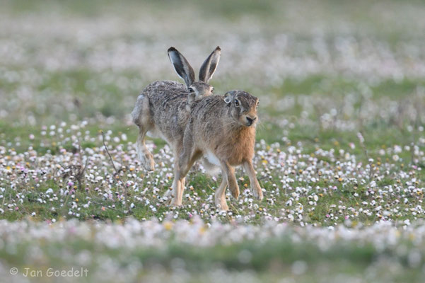 Der männliche Hase ist dem Weibchen dicht auf den Fersen