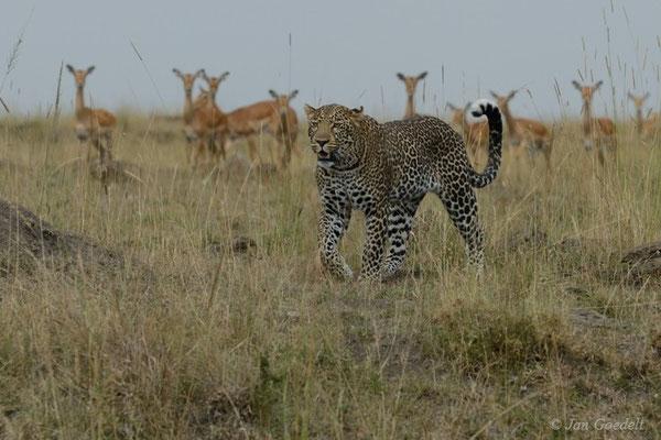 Leopard zieht nach gescheitertem Angriff auf Antilopen ab, Masai Mara (Kenia)