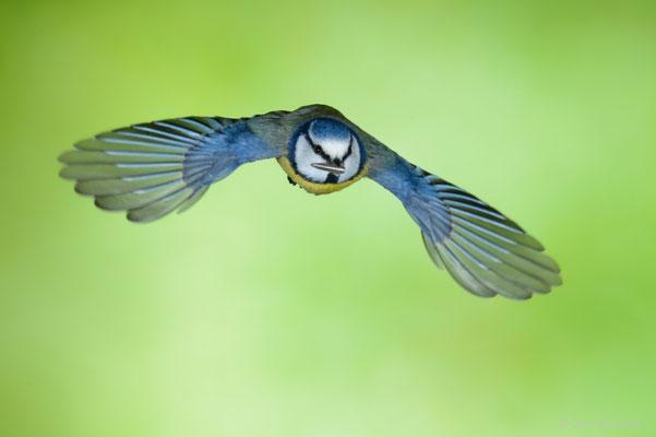 Blaumeise fliegt vom Futterhäuschen ab