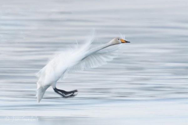 Singschwan landet auf vereistem See