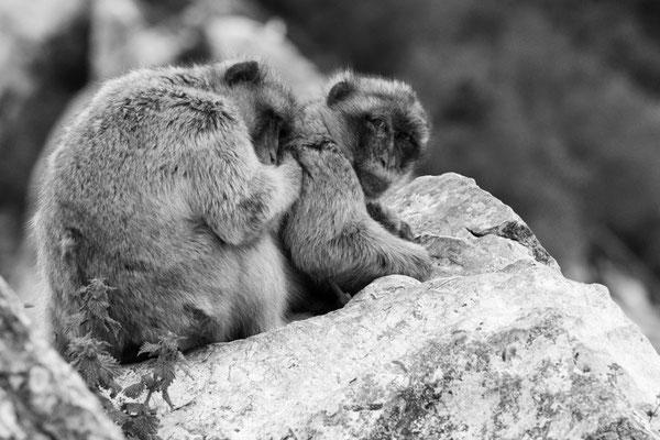 Berberaffen kuscheln miteinander
