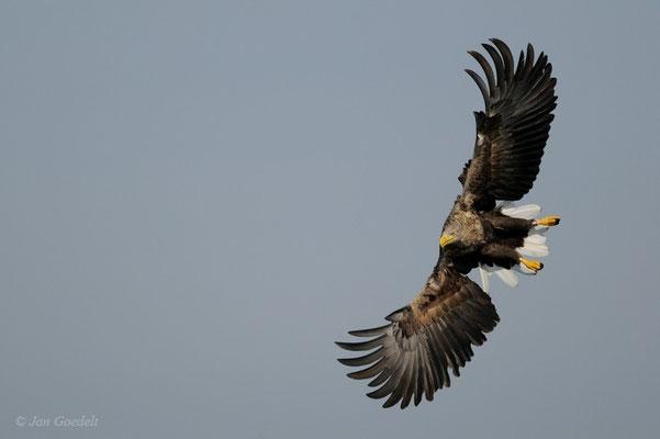 Seeadler im Anflug auf Beute