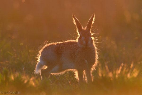 Junger Feldhase im Sonnenuntergangslicht