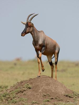 Leierantilopenbock auf einem Termitenhügel, Masai Mara (Kenia)