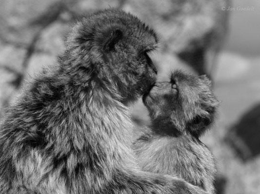 Berberaffen-Kuss zwischen Mutter und Jungtier