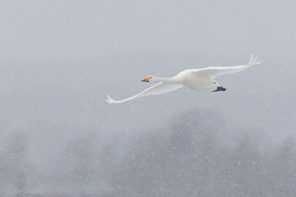 Singschwan im Schneetreiben