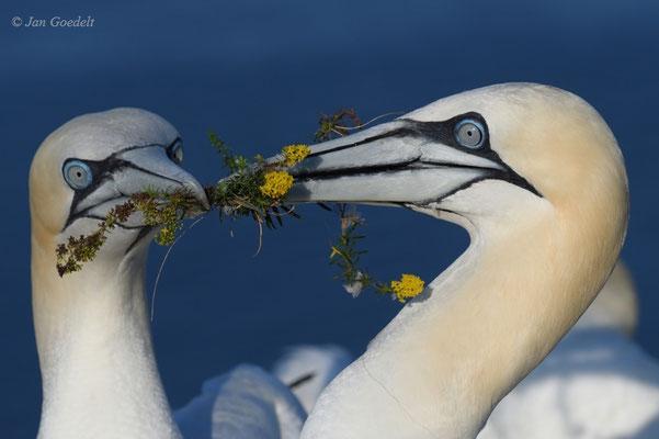 Basstölpel-Paar präsentiert gerupfte Blumen als Nistmaterial